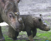 An adult Sumatran Rhino with its young.