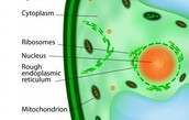 Ribosomes in plant cell