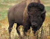 The food Comanches ate are buffalo or bison.