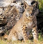 Lberian Lynx