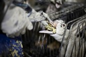 """6. On foie gras (fatty liver) duck farms, metal pipes are shoved down the throats of ducks 2-3 times per day in which over a pound of cornmeal is pumped into their stomachs. While """"foie gras"""" means fatty liver, the ducks' livers are actually diseased and have grown 5-10 times more than their normal size. Most ducks die before they are slaughtered. One report showed that ducks were too weak to fight off rats that were eating them alive. Many female ducks end up in the garbage because females produce smaller livers. They usually suffocate to death there."""