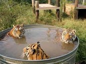 Tigers in a tub