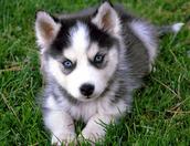 Husky's are cute!!!