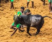 SC Denies to Review 2014 Ban on Jallikattu