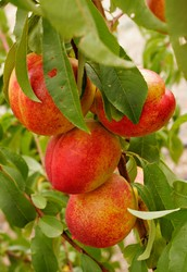 What is a Nectarine?