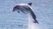 Dolphin: Lagenorhynchus