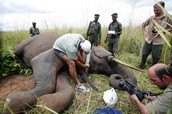 This is an injured elephant being nursed to health.