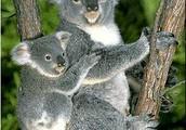 Why koalas are endangerd?
