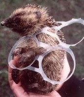 Hedgehog stuck in plastic