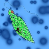 This is a drawn Euglena.
