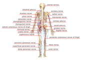 About the Nervous System