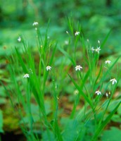 White Irisette (Plant)