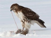 What do Red-Tailed hawks eat?