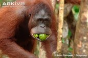 Orangutan from pinterest.com