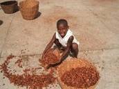 Boy Drying cocoa
