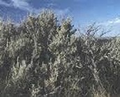 Common sagebrush
