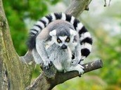 Play with the ring tail lemurs!