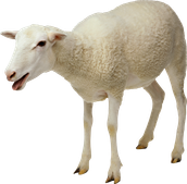 Experience Sheep withe New GMO Technology