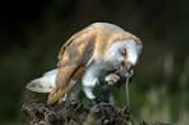 barn owl feeding