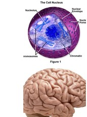 The Nucleus and the Human Brain