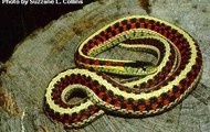 garter snake on a big rock