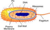 Where DNA is located?