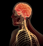 What Exactly Is The Nervous System?