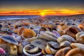 Seashell three