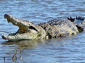 The Nile River Croc..... Watch out....He looks hungry....