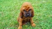 Baby bloodhound