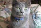 Raja: The Rushing Russian Blue!