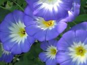 Rhode Island's Flower