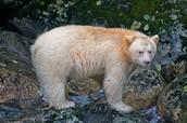 'Spirit Bear'