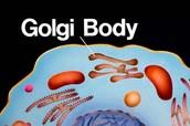 Golgi Body,Ribosomes and the Nucleolus