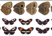 Variation in butterflys' wings