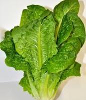 our fresh lettuce