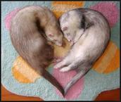~ferret love~