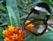 Clear Wing Butterfly