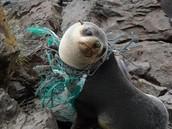 Young Sea Lion Entangled