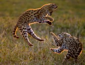 Serval Jumping!