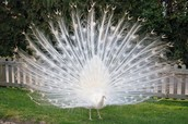 Peacock with Albinism