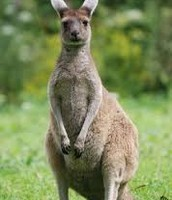 How the Kangaroo Uses Its Body
