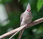 Blue-naped Mousebird (Urocolius macrourus)