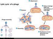 4B: How do viruses reproduce?