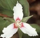 Monocot petals