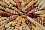 Corn is a staple grain of the world's food supply.