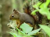 Small Squirrel