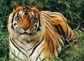 Bengal Tiger: Panthera tigris