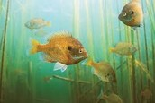 school of bluegill