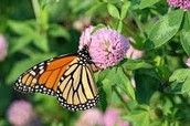 BUTTERFLY (POLLINATOR)